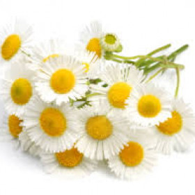 export and import egyptian Chamomile