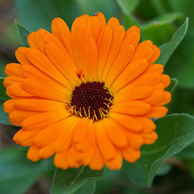 Egyptian Calendula Flower