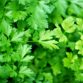 Egyptian Parsley